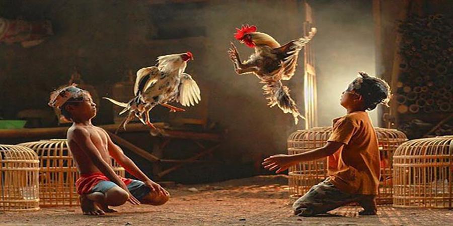 Agen Sabung Ayam Online