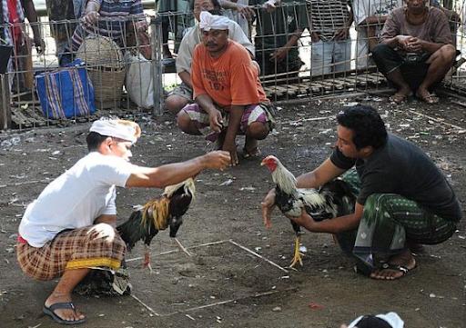 Agen Sabung Ayam Terercaya