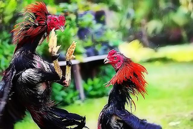 Situs Sabung Ayam Terbesar